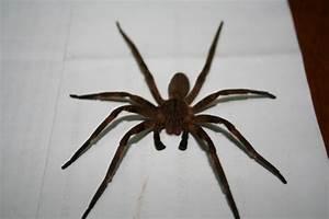 Brazilian Wandering Spider – WeNeedFun
