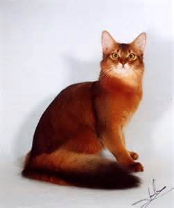 somali cats somali cat amazingly gorgeous beautiful animals