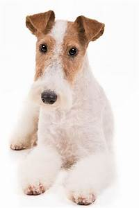 Wire Fox Terrier Dog Breed Information