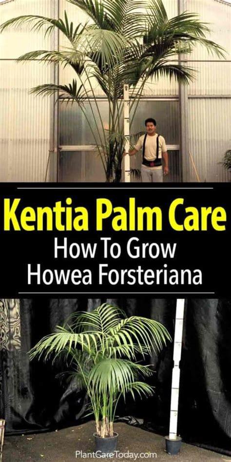 kentia palm care growing  beautiful howea forsteriana