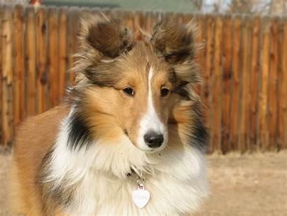Sheltie Soleil Dog Breed Months Wallpapers Named