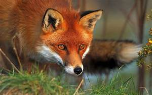 fox beautiful desktop wallpaper hd in clear contrast