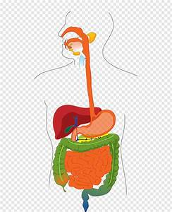 Gastrointestinal Tract Human Digestive System Diagram