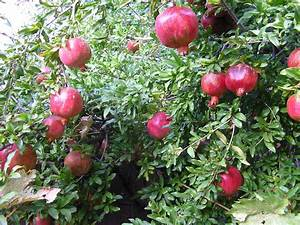 Trees that Feed – Pomegranates | lilianausvat