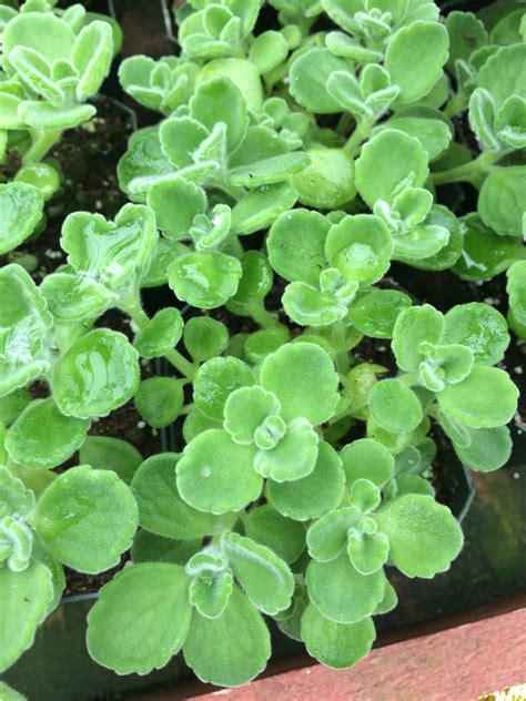 vicks plant plectranthus purpuratus buy