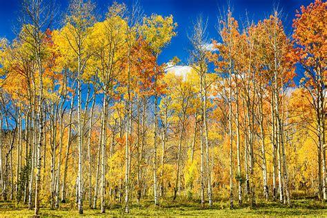 colorful colorado autumn aspen trees photograph by bo insogna