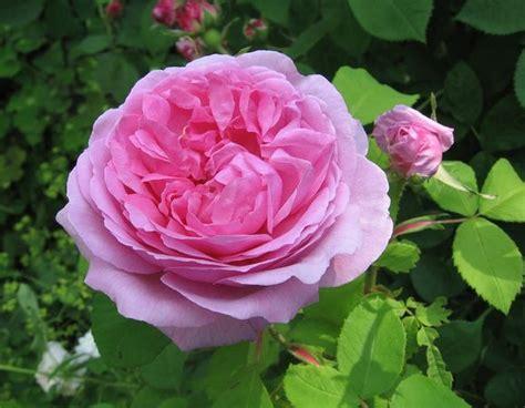 madame knorr rose biblio