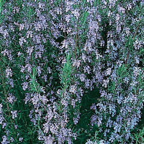 rosemary plant uk rosemary plug plant