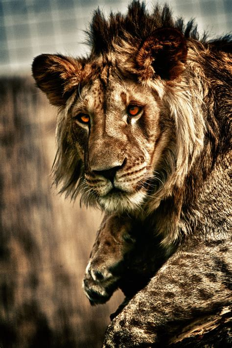eyes  blood  lion redmich  deviantart