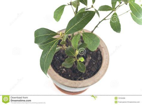 bay tree growing in pot royalty free stock image image 13194286