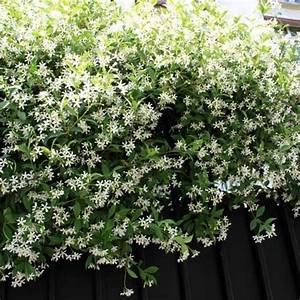 Plantes à Feuillage Persistant : 17 meilleures id es propos de plante grimpante feuillage ~ Premium-room.com Idées de Décoration