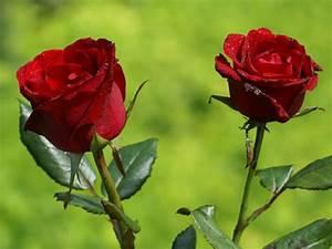 Flowers For Flower Lovers   Beautiful Rose Flowers