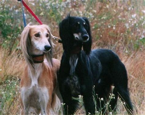 saluki dog breed information puppies pictures