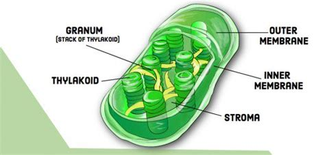 Compare And Contrast Chloroplasts And Mitochondria Owlcation