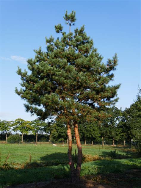 Pinus Sylvestris 'norska'  Van Den Berk Boomkwekerijen