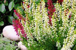 erika pflanze winterhart heidekraut pflanzen und pflegen so wird s gemacht