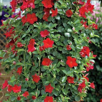 Red Fury Mandevilla  Direct Gardening