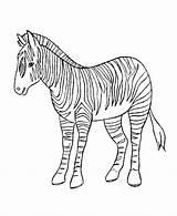 Zebra Coloring Pages Animal Sheets Sheet Wild Print Colorings Printable Baby Animals Zebras Az Preschool Getcoloringpages Drawings Azcoloring sketch template