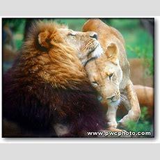 80 Best Lion & His Lioness! Images On Pinterest  Big Cats