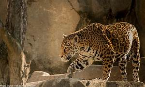 Interesting facts about jaguars   Just Fun Facts
