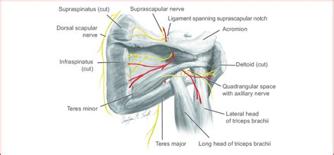 The resting tone of these muscles act to compress the humeral. Posterior view of left shoulder showing paths of nerves from ventral...   Download Scientific ...