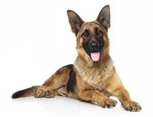 le berger allemand un chien tr 232 s attachant animalblog