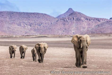 desert elephants  namibia africa geographic