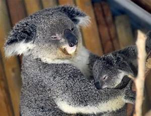 Orphaned baby Koala finds fluffy toy friend - Samaa TV