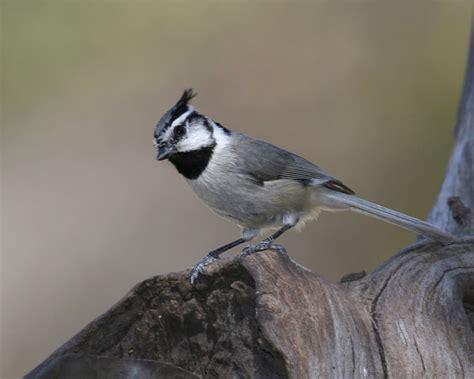 bridled titmouse birdspix