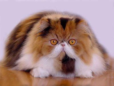 gatti persiani pelo corto i gatti soffrono il caldo focus it