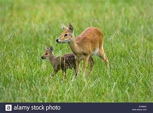 Chinese Water Deer Hydropotes inermis female with fawn ...