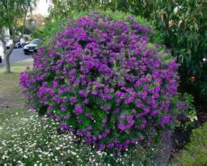 online flower delivery gardensonline polygala grandiflora