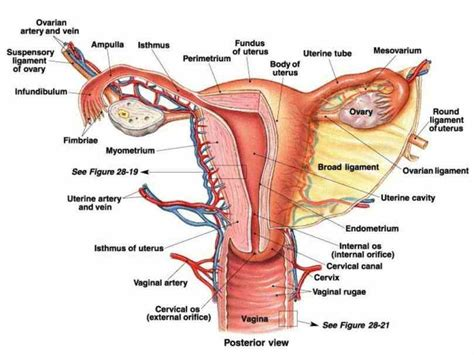 2 Rahim Pada Wanita Anatomy Of Female Genital Organs Medicinebtg Com