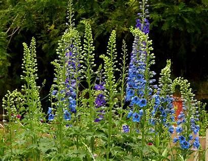 Delphinium Flowers Landscape Px Tags