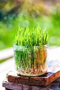 Aprikosenbaum Selber Ziehen : weizengras selber ziehen im keimglas weizengrassaft selber ~ Lizthompson.info Haus und Dekorationen