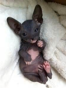baby hairless cats sphynx kitten aww