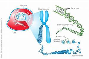 Dna  Chromosomes And Cells