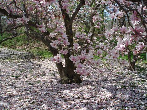 flowering trees flowering magnolias ferrebeekeeper