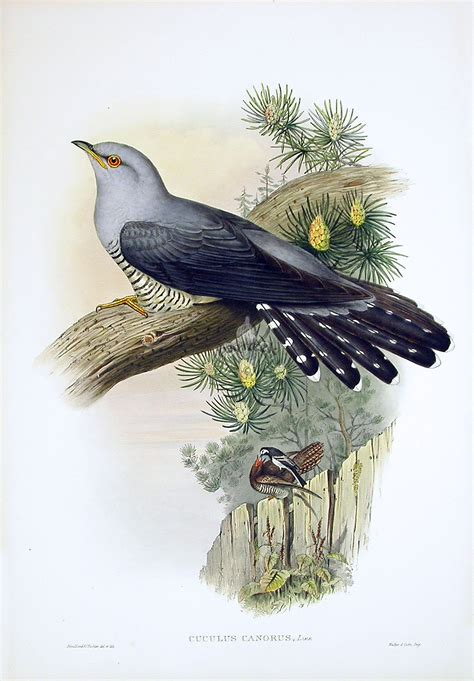 john gould birds  great britain
