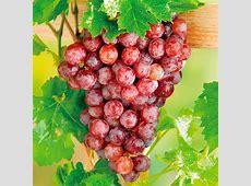 Vine Flame 1 Grapes Soft Fruit Fruit Garden Dobies