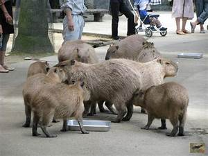 Adorable Capybaras Waiting To Be Fed Watermelon - Picture ...