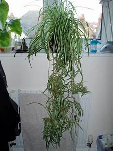 Trimming, Spider, Plant, Leaves, How, To, Prune, A, Spider, Plant
