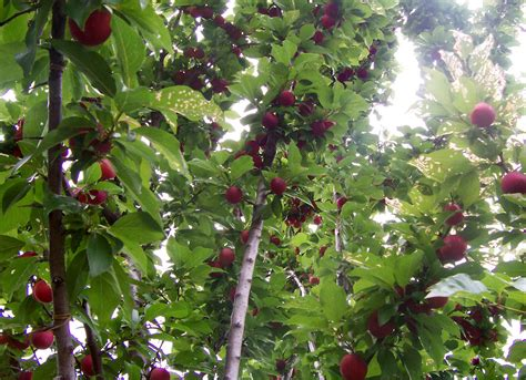 fruit trees fruit tree wikipedia