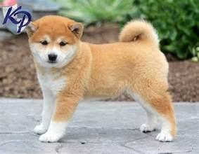 Shiba Inu Pomeranian Mix Puppies