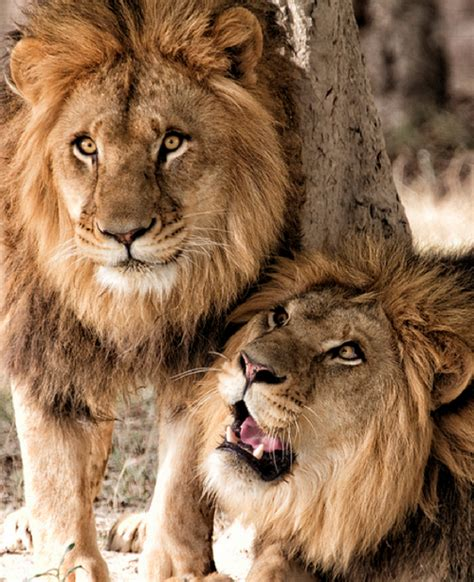 Wild Animals  Lions  In The Family Circle  Löwe, Wilde