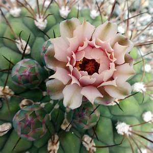beautiful cactus flower by BlackEyesSnowAngel on ...