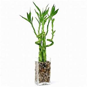 Lucky Bamboo Arrangement - Natural Glass from EasternLeaf.com