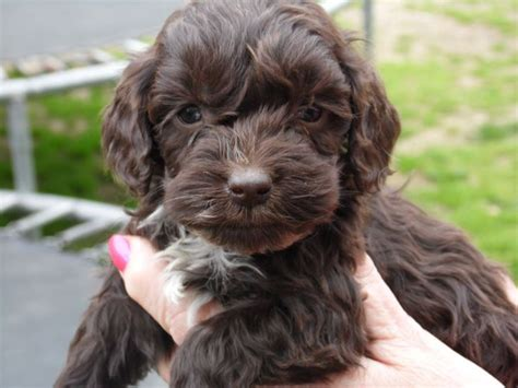 Do F1 Cockapoos Shed by Best 25 Cockapoo Puppies For Sale Ideas On