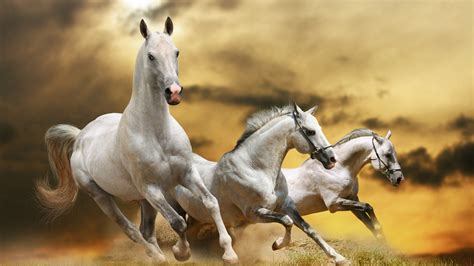 beautiful white horses running