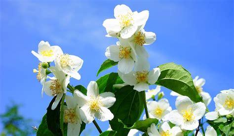fiori molto profumati fiori profumati idee green